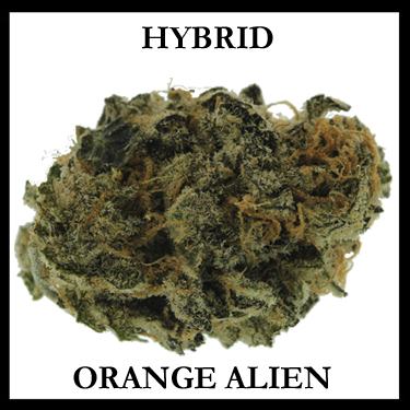 Orange Alien Hybryd